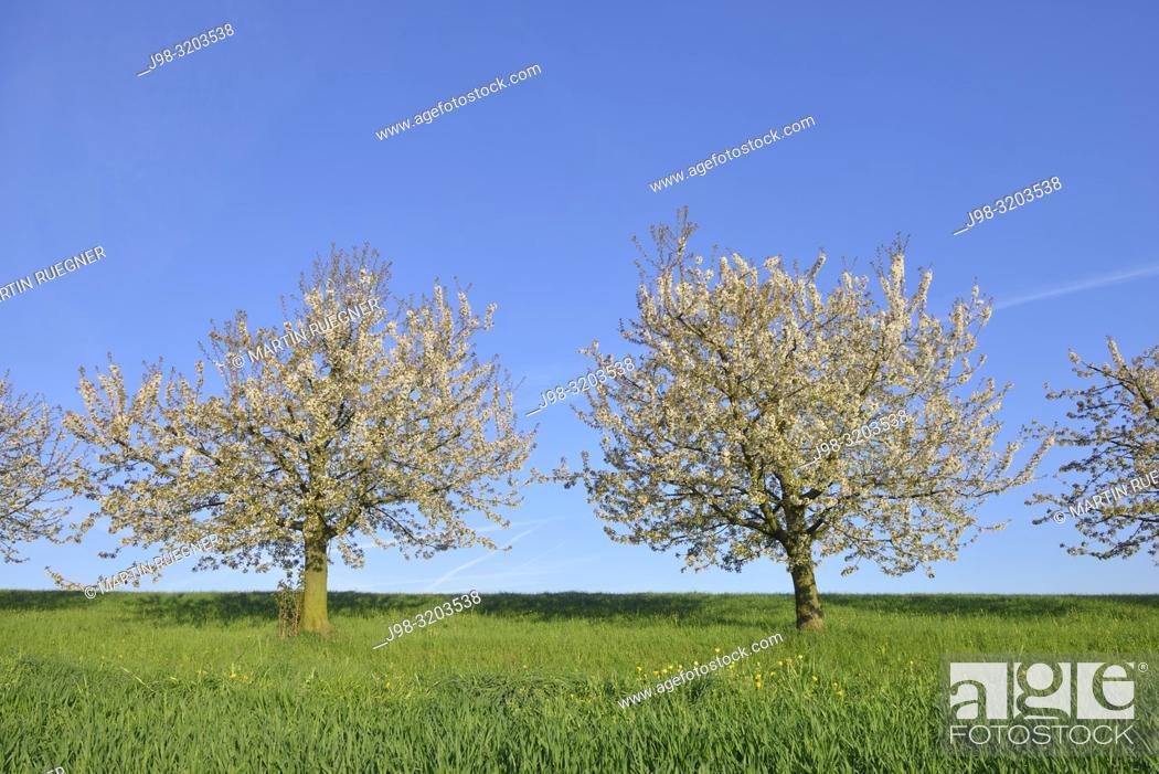 Stock Photo: Cherry trees in blossom, springtime. Canton Basel-Landschaft, Switzerland, Europe.