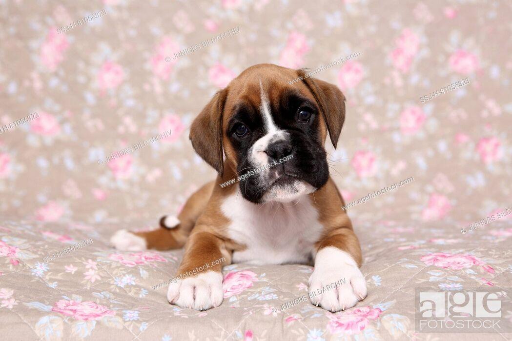 German Boxer Puppy 6 Weeks Old Lying Studio Picture Seen Against A Floral Design Wallpaper Foto De Stock Imagen Derechos Protegidos Pic Ssj H 81056323 Agefotostock