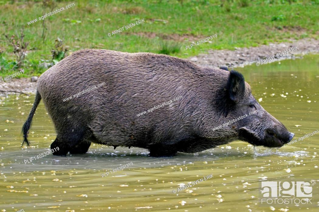 Stock Photo: Wild boar (Sus scrofa) sow taking a bath in pool in summer.
