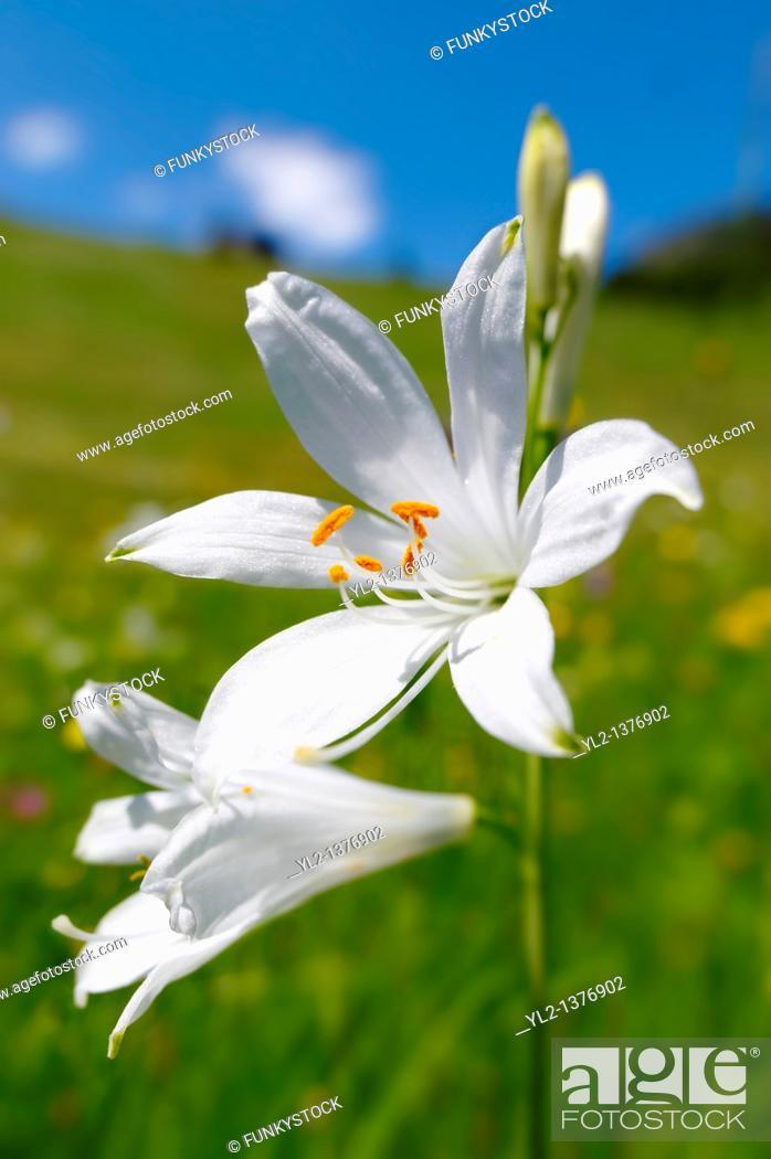 Stock Photo: St Bruno's Lily  Paradisea lilliastrum   Alpine summer meadow  Bernese Alps.