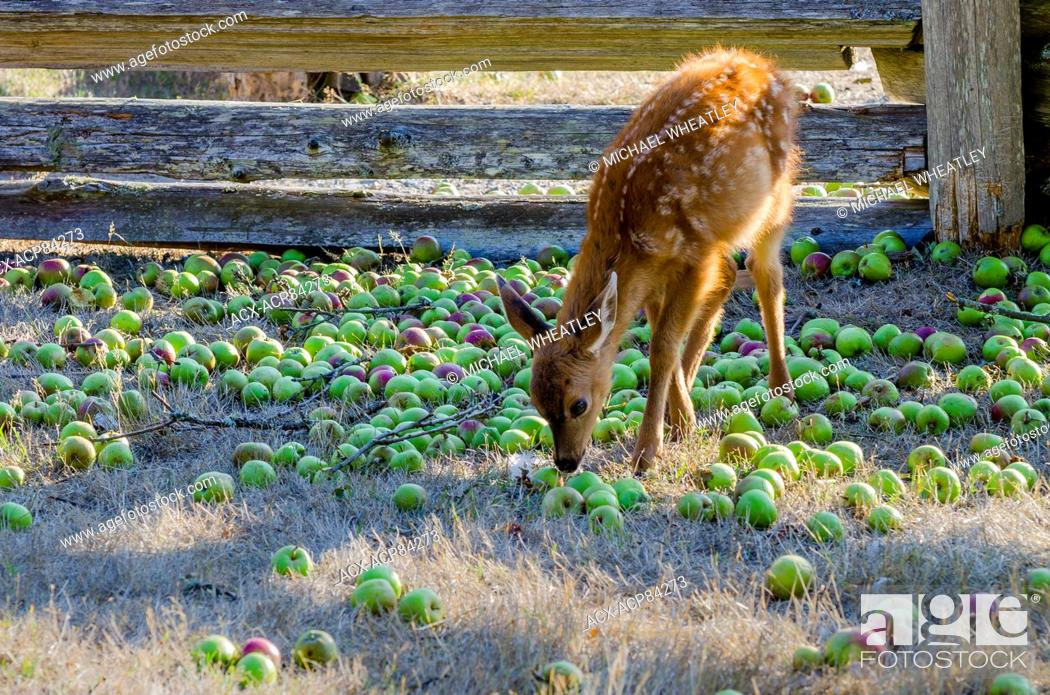 Stock Photo: Young deer eating apples at the Ruckle farm, Ruckle Provincial Park, Salt spring Island, British Columbia, Canada.
