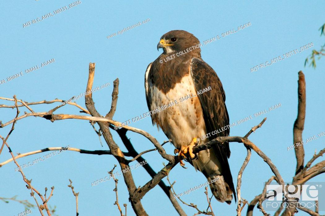 Stock Photo: Swainson's Hawk, Buteo swainsoni.