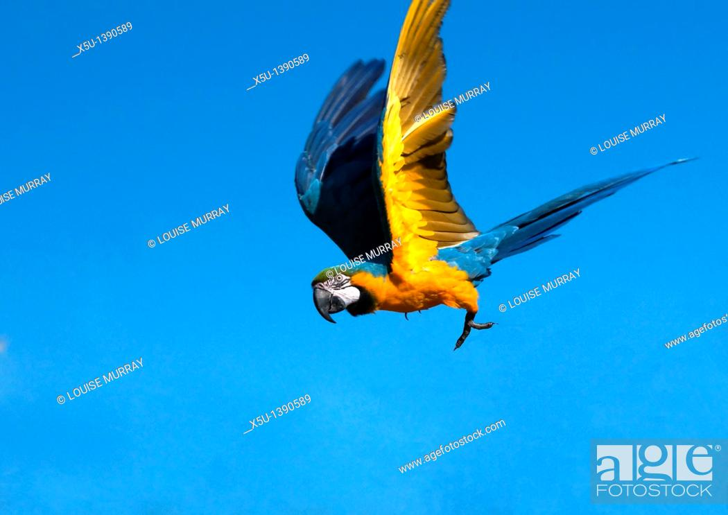 Stock Photo: Blue and yellow macaw in flight  Also known as the Blue and gold macaw, this South American parrot can reach 85cm long and 1 3 kilos in eight  These parrots are.