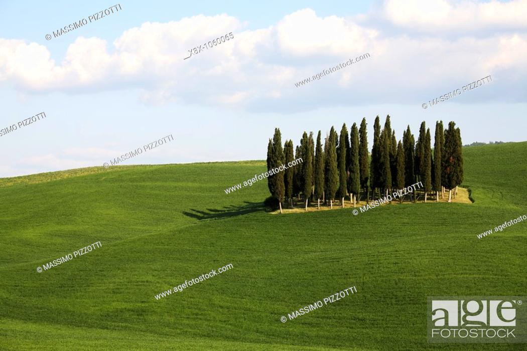Stock Photo: Grove of Cypresses in Val d'Orcia, Tuscany, Italy.