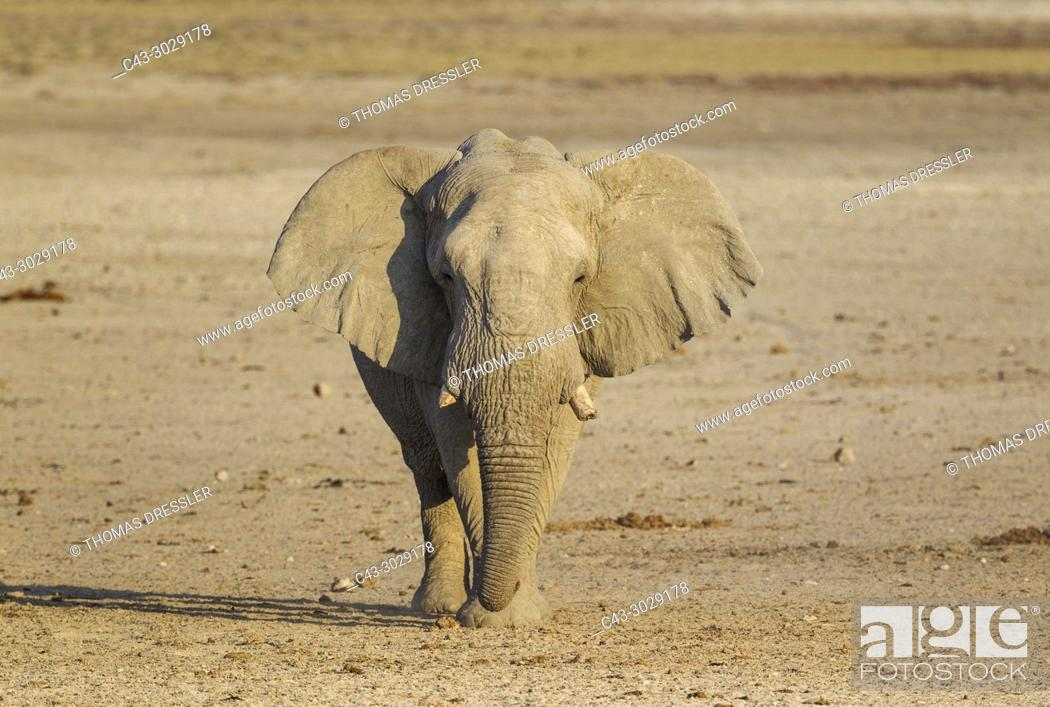 Imagen: African Elephant (Loxodonta africana). Bull on his way to a waterhole. Etosha National Park, Namibia.