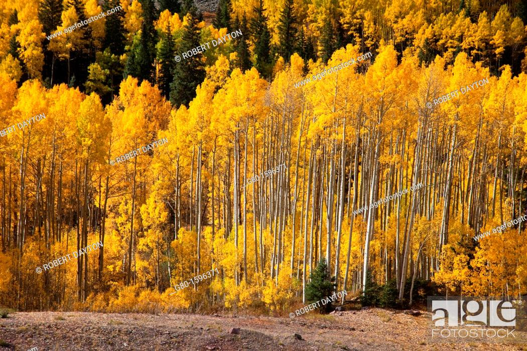 Photo de stock: Aspens show their fall colors in the Rocky Mountains of Colorado.