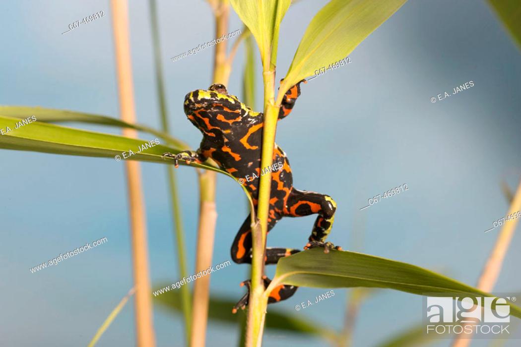 Stock Photo: Fire Belly Toads (Bombina orientalis).