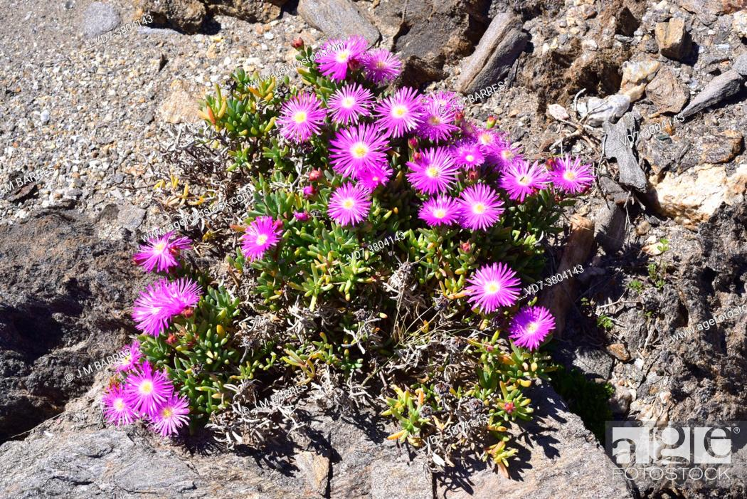 Imagen: Pink carpet or trailing iceplant (Delosperma cooperi or Mesembryanthemum cooperi) is a creeping succulent plant native to South Africa and naturalized in.