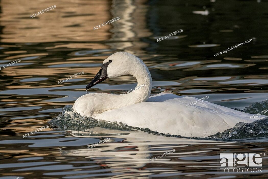 Stock Photo: Adult Trumpeter Swan (Cygnus buccinator) on Lake Ontario at Bluffer's Park, Toronto, Ontario, Canada.