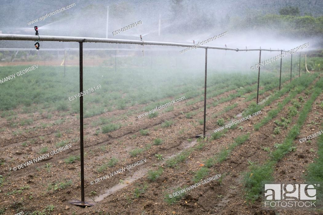Stock Photo: Field planted with dill. Watering dill with sprinkler.