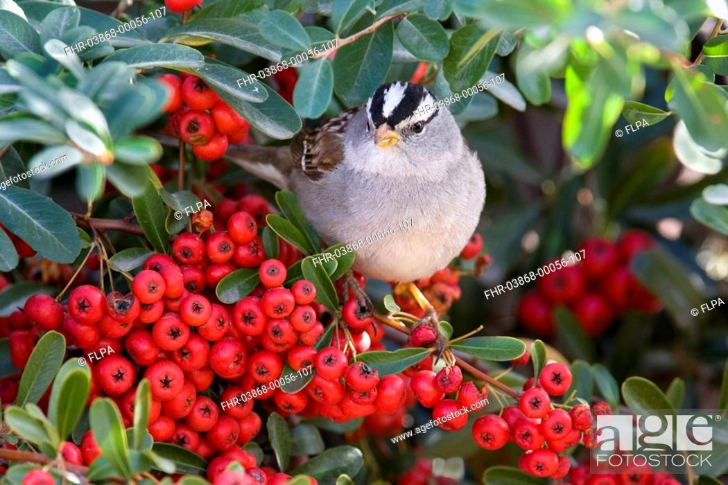 Stock Photo: White-crowned Sparrow Zonotrichia leucophrys adult, feeding on pyracantha berries, U S A.