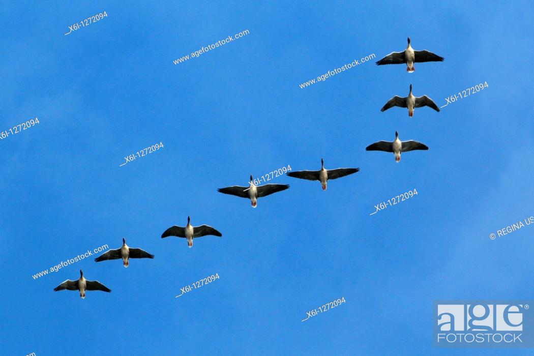 Stock Photo: Pink-footed Geese Anser brachyrthynchus, in flight, autumn, Northumberland, England.