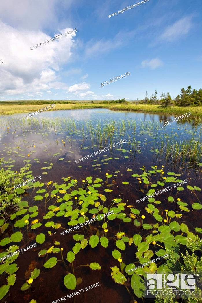Stock Photo: Yellow Pond-Lily Nuphar lutea in a pond in the Avalon Wilderness Area, Newfoundland and Labrador, Canada.
