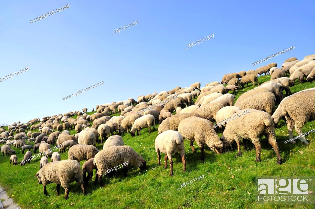 Stock Photo: Sheep on the dike.