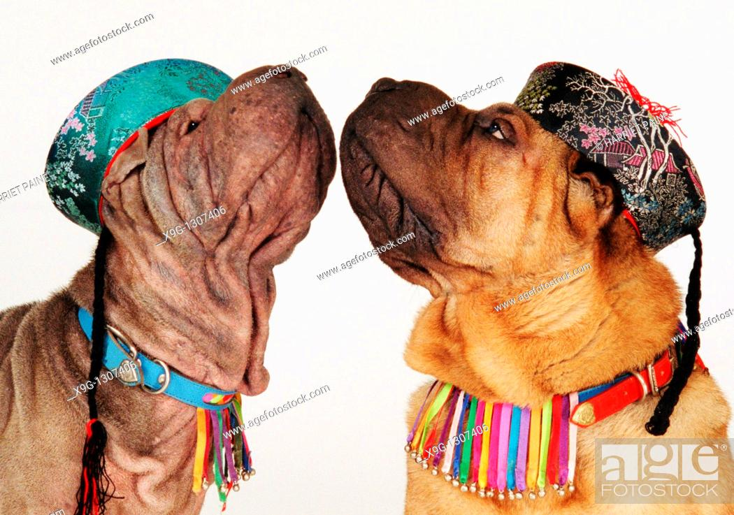 Stock Photo: Sharpei: Breed of dog.