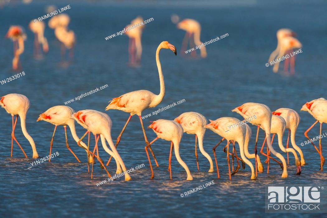 Photo de stock: European Flamingo, Great Flamingo, Phoenicopterus roseus, Saintes-Maries-de-la-Mer, Parc naturel regional de Camargue, Languedoc Roussillon, France.
