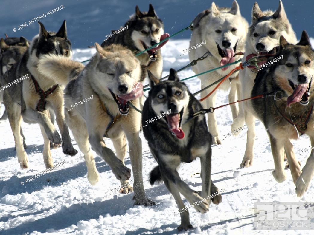 Stock Photo: dog sleigh race in The Pirenees Pirena 2011.