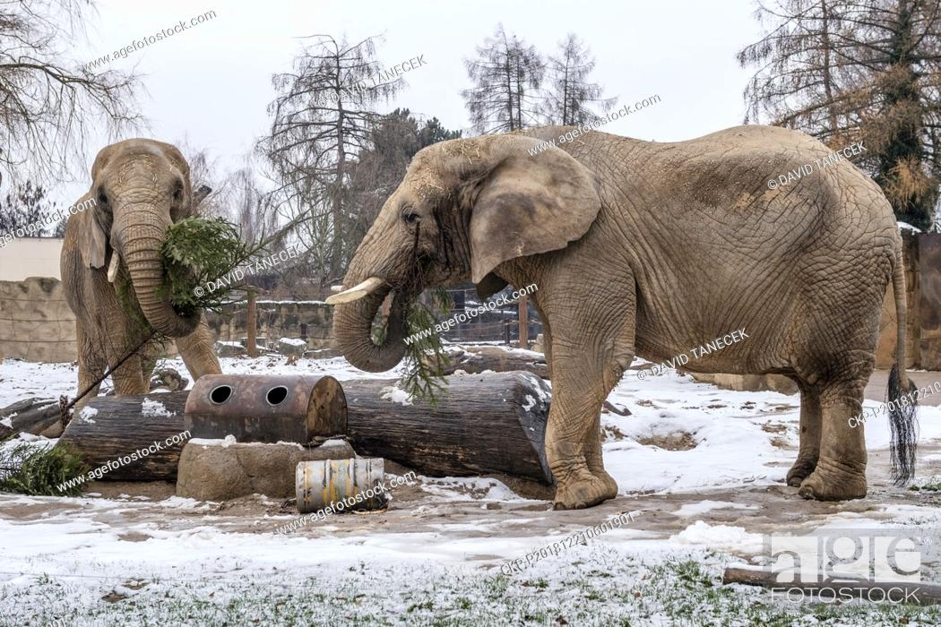 Stock Photo: African elephants (Loxodonta africana) in the Dvur Kralove Zoo in Dvur Kralove nad Labem, Czech Republic, got from their keepers popular yearly delicatessen in.