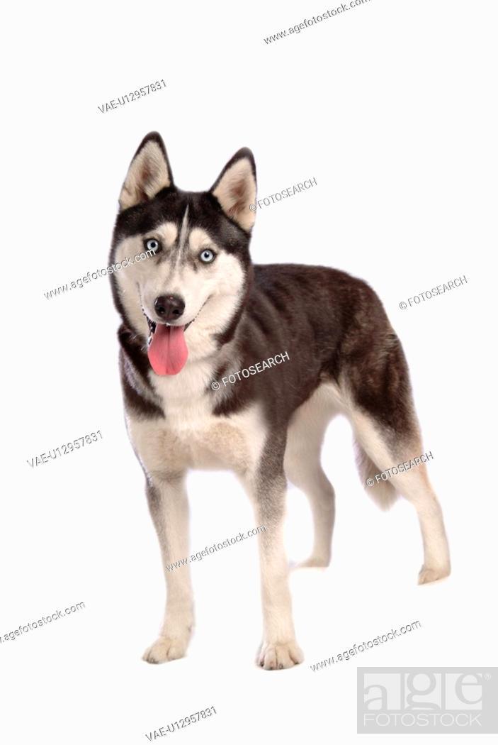 Stock Photo: cute, husky, loving, canines, domestic, siberian husky.