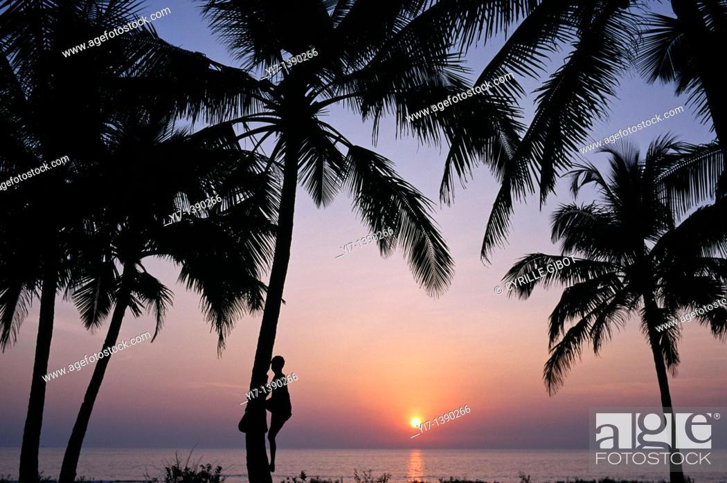 Stock Photo: Coconut picker in Goa, India.