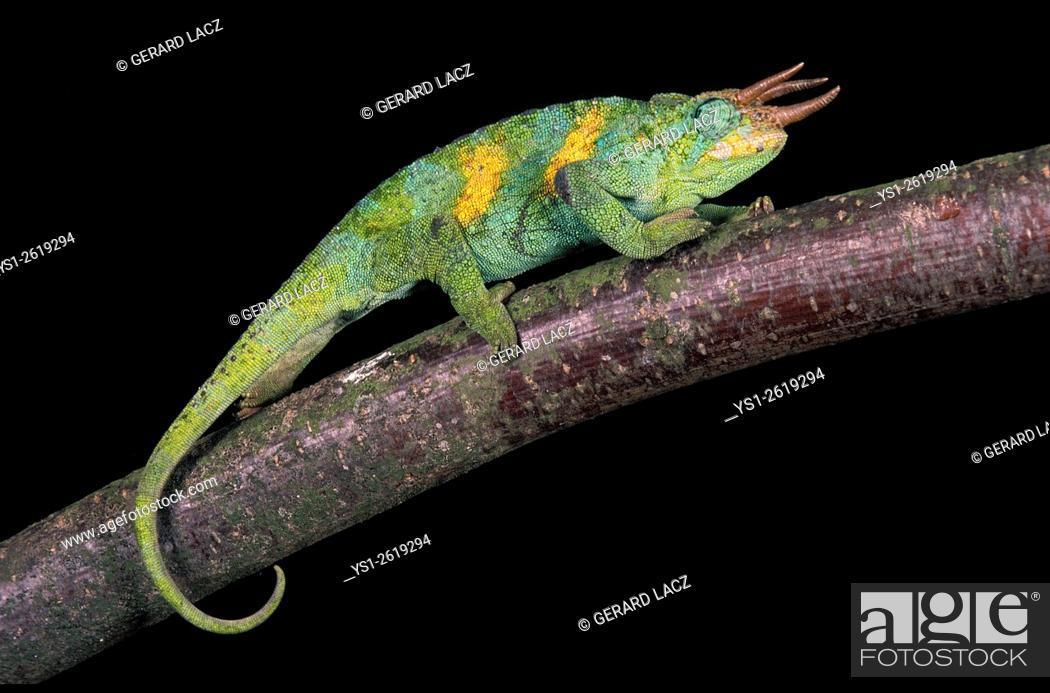 Stock Photo: Jackson's Chameleon, chamaeleo jacksoni, Male standing on Branch.