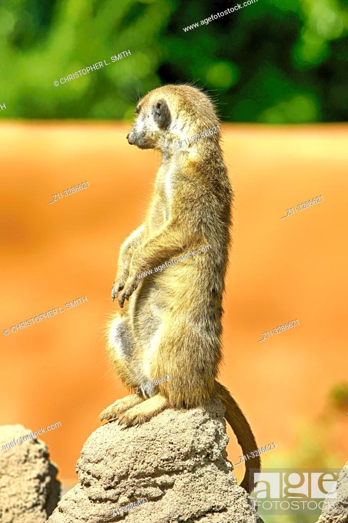 Stock Photo: Meerkat on lookout at Reid Park Zoo in Tucson AZ.