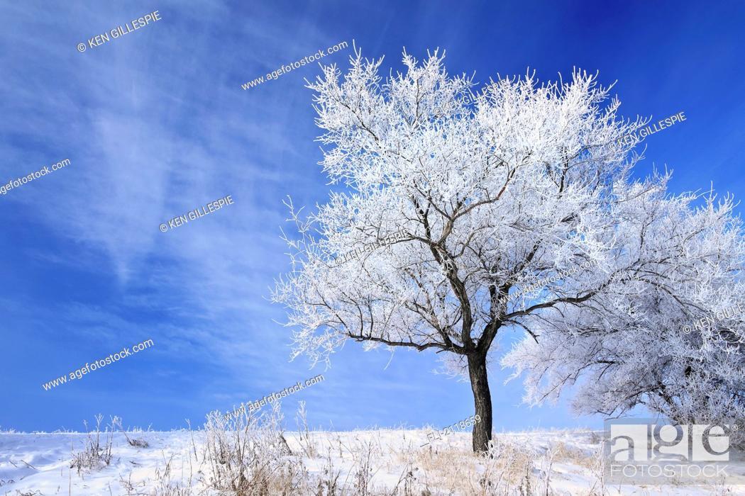 Stock Photo: Hoarfrost on trees, winnipeg manitoba canada.