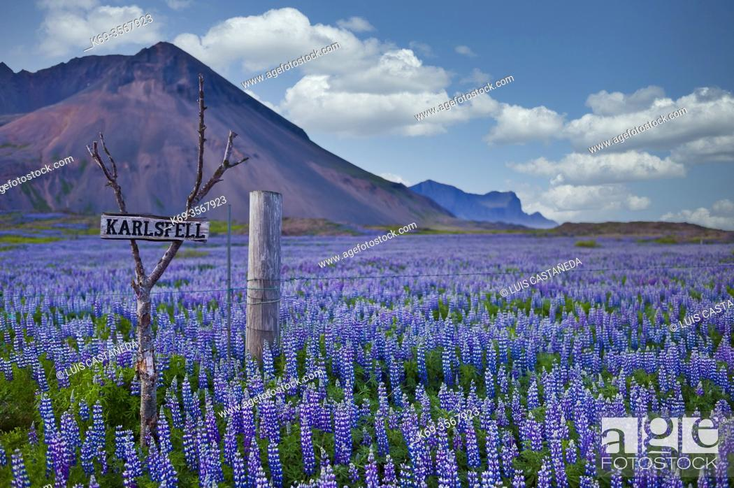 Stock Photo: Lupins Field. Iceland.