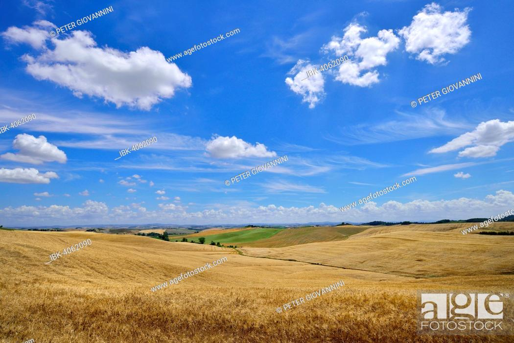 Stock Photo: Hilly landscape with cornfields and white clouds in the sky, near Murlo, Province of Siena, Tuscany, Italy.