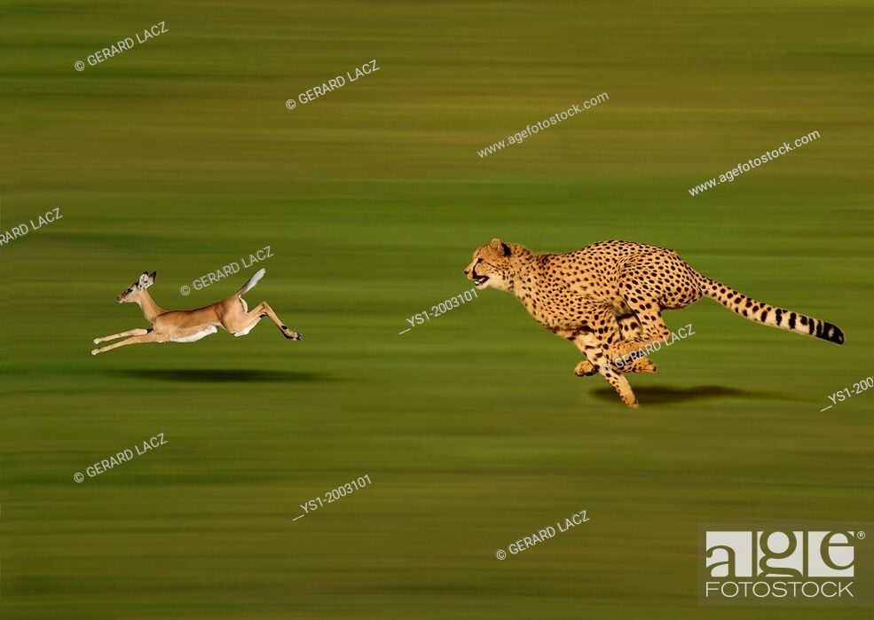 Stock Photo: CHEETAH acinonyx jubatus, Adult hunting a Thomson's Gazelle, gazella thomsoni.