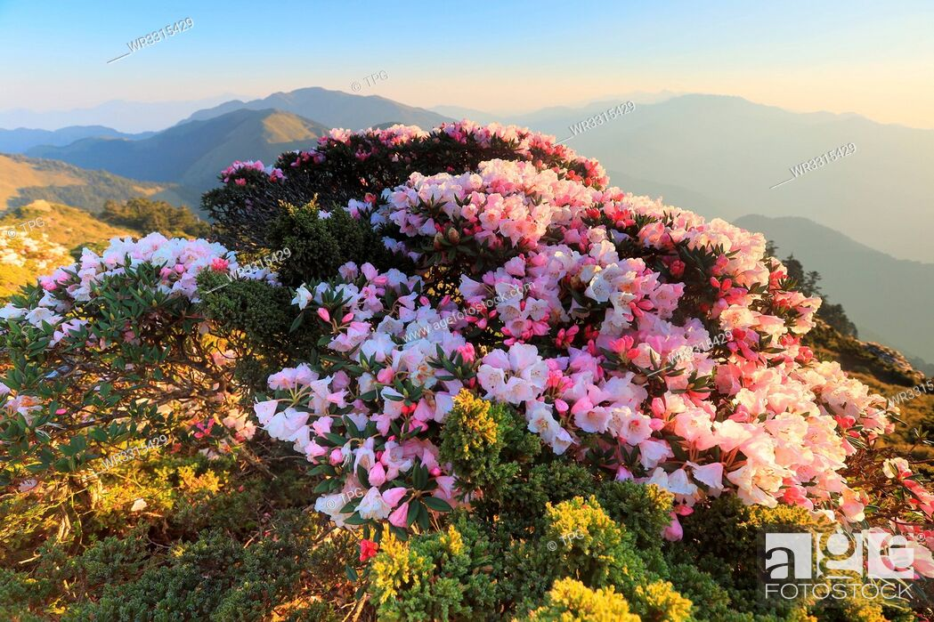 Stock Photo: Rhododendron on Hehuan Mountain.