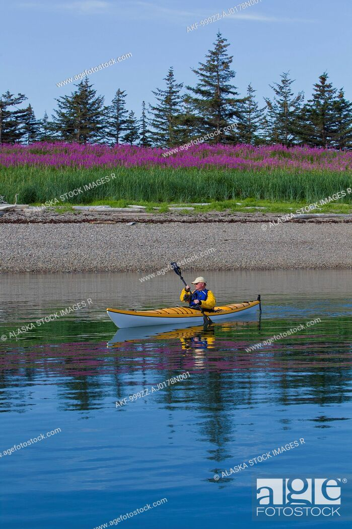 Stock Photo: Sea kayaker paddles along the shoreline near Juneau with Fireweed field blooming in the background, Southeast Alaska, Summer.