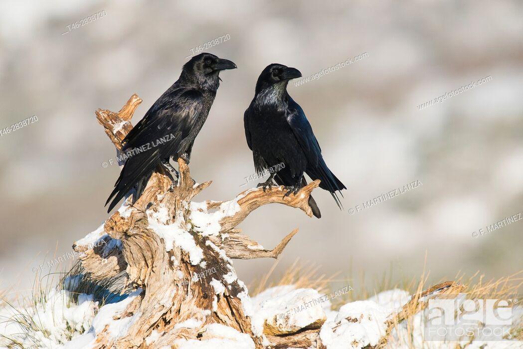 Stock Photo: big crow (Corvus corax), photographed in espinar segovia.