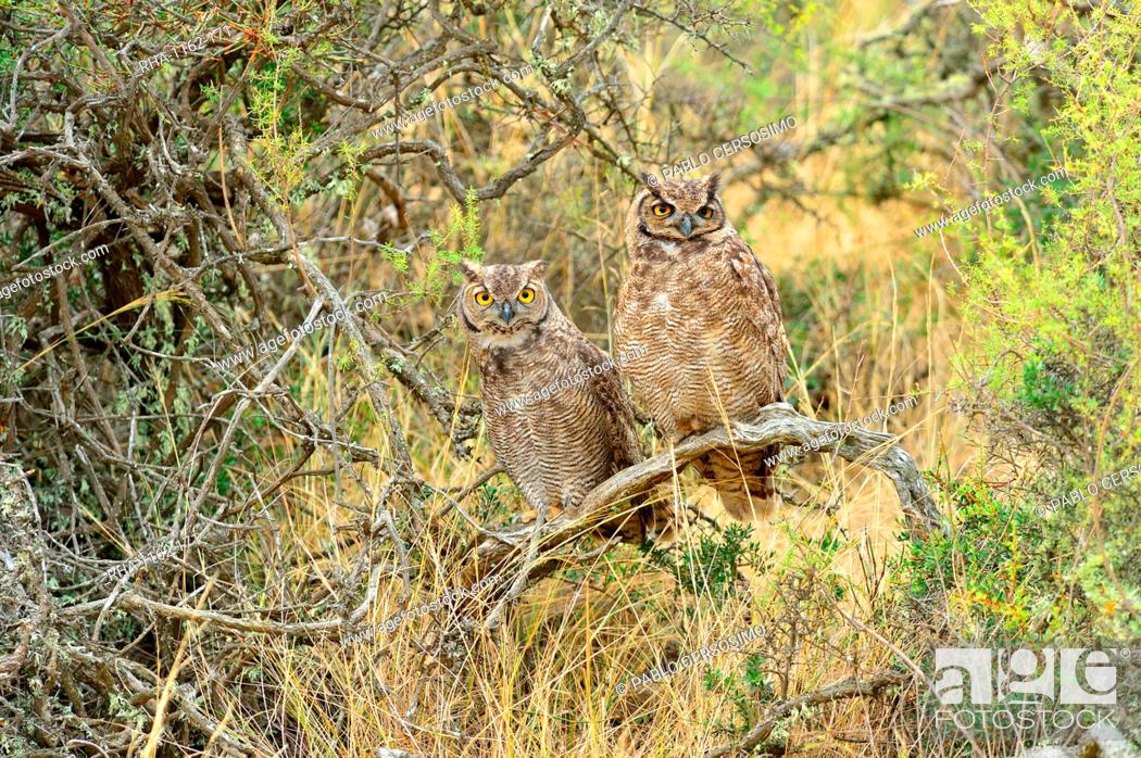 Stock Photo: Great horned owl (Bubus Virginianus nacurutu), Patagonia, Argentina, South America.