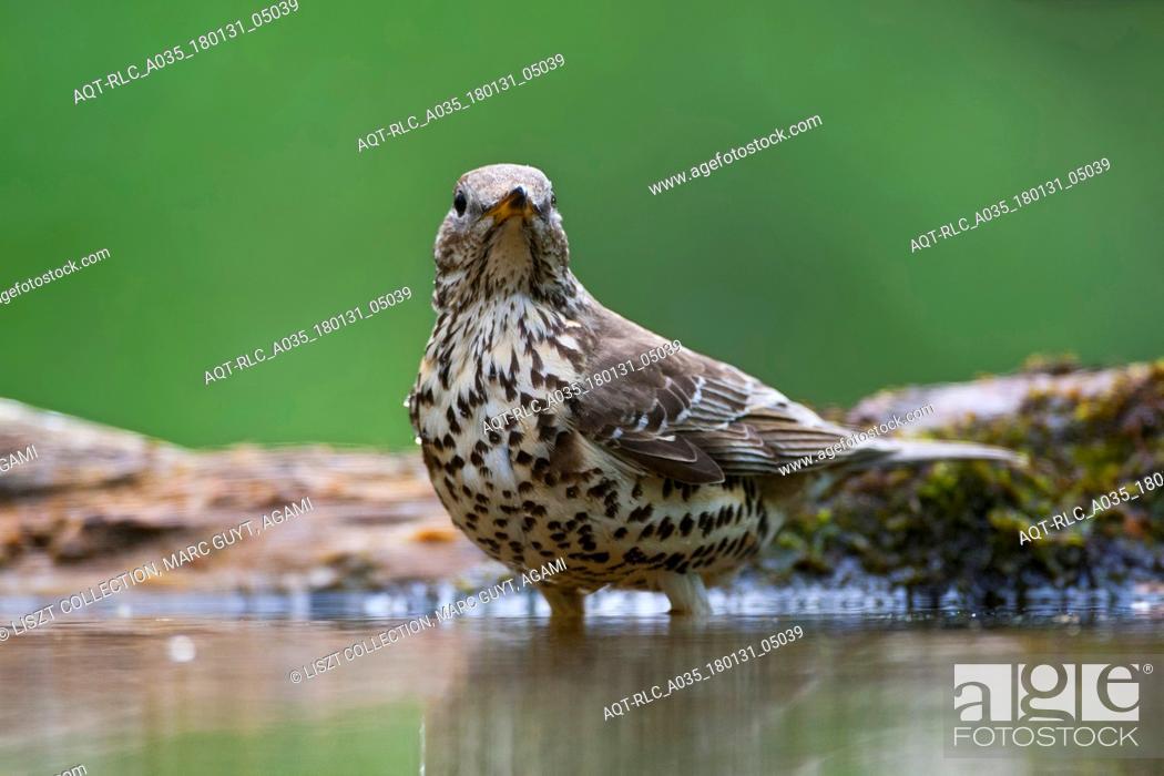 Stock Photo: Adult Mistle Thrush standing in a forest pool, Mistle Thrush, Turdus viscivorus.