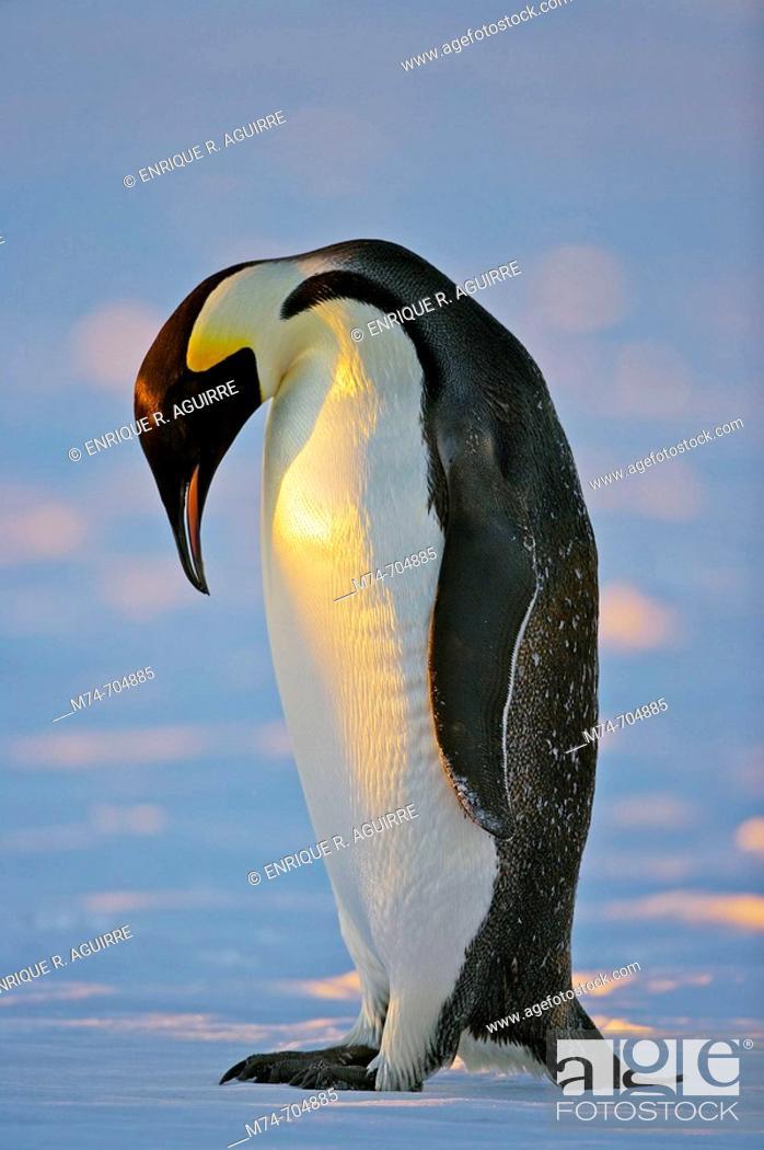 Stock Photo: Emperor Penguin Aptenodytes forsteri, Weddel Sea, Antarctica.