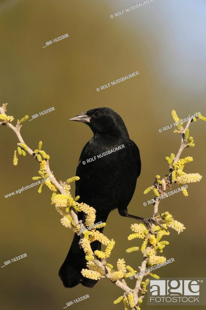 Red Winged Blackbird Agelaius Phoeniceus Male On Blackbrush