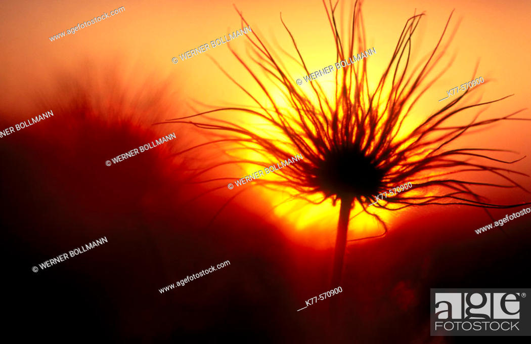 Stock Photo: Small pasqueflower, seeds (Pulsatilla pratensis). Oland, Sweden.