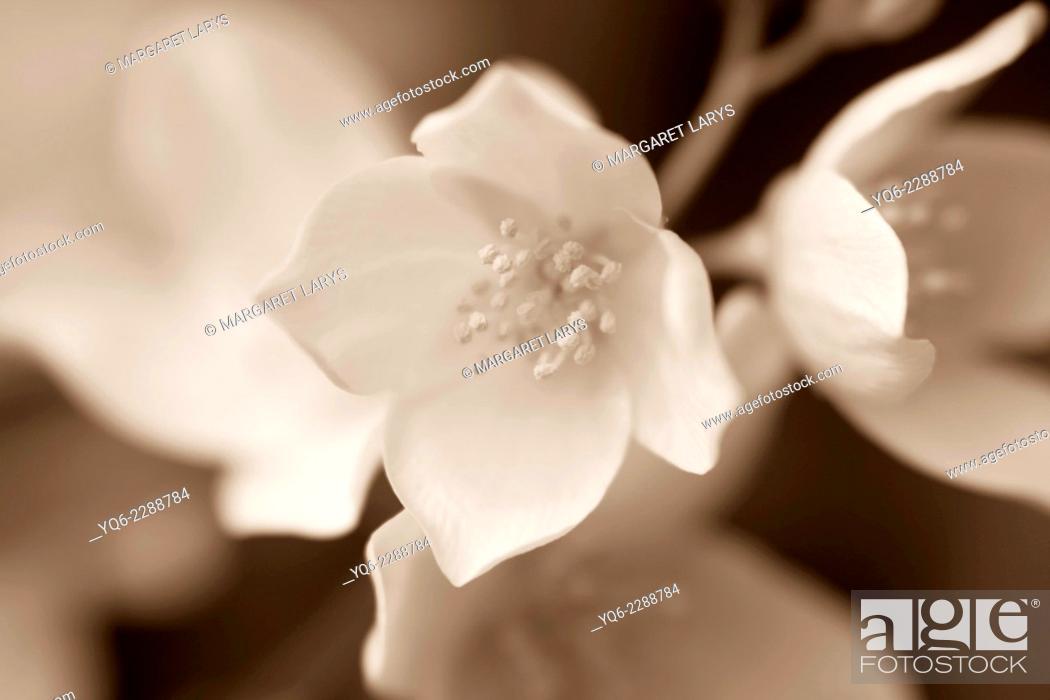 Stock Photo: Jasmine blossom, selective focus in monochrome.