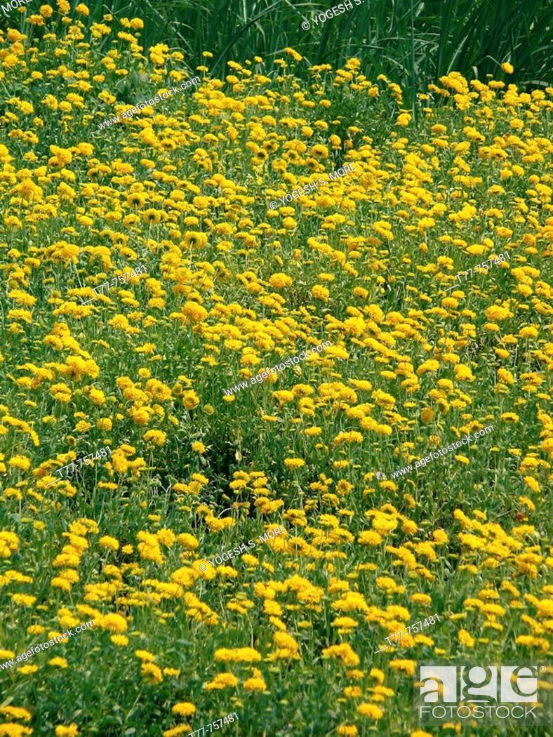 Stock Photo: Field of Calendula officinalis flowers. Calendula officinalis L. pot marigold, calendula, garden marigold, marigold, marygold.