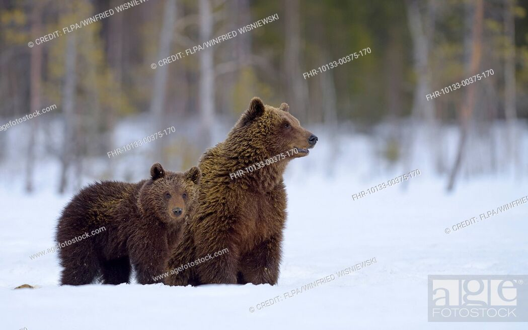 Stock Photo: European Brown Bear (Ursus arctos arctos) adult female and cub, on snow covered bog at edge of forest, Northeastern Finland, April.