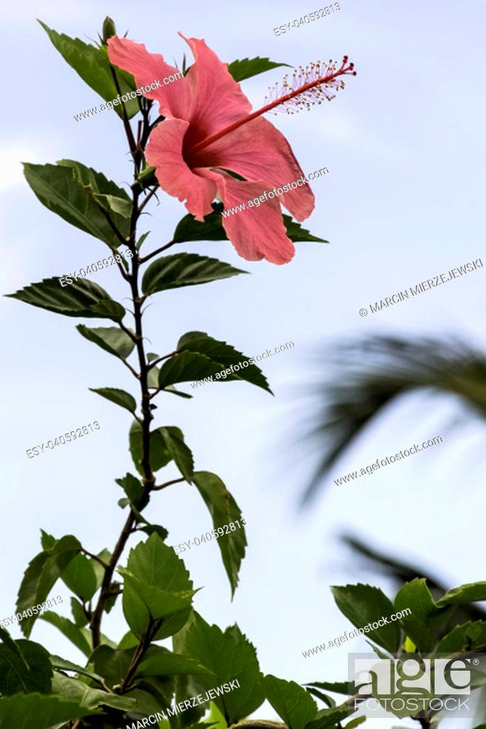Stock Photo: Pink hibiscus rosa-sinensis, known as Chinese hibiscus, China rose, Hawaiian hibiscus, rose mallow and shoeblackplant - Varadero, Cuba.