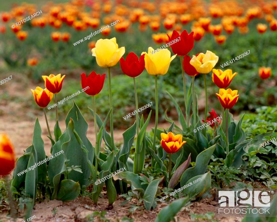 Stock Photo: red flower, nature, flowers, flower, scene, yellow flowers, landscape.