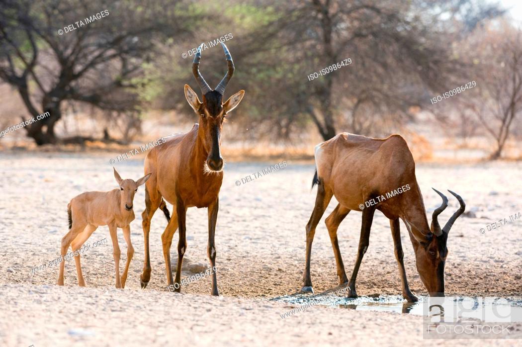 Stock Photo: Red hartebeest (Alcelaphus buselaphus), at waterhole, Kalahari, Botswana, Africa.
