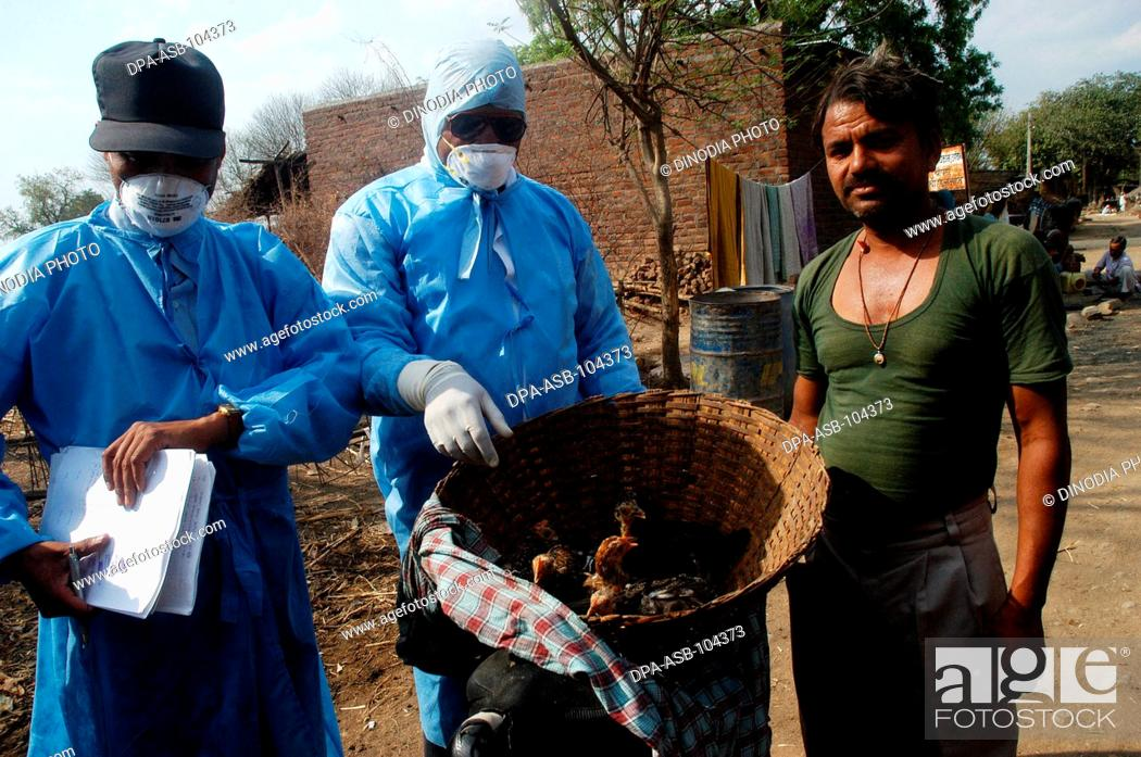 Stock Photo: Villagers hand over household poultry to government health workers for culling infected chickens in the backyard of the villager's houses at Hingona village in.
