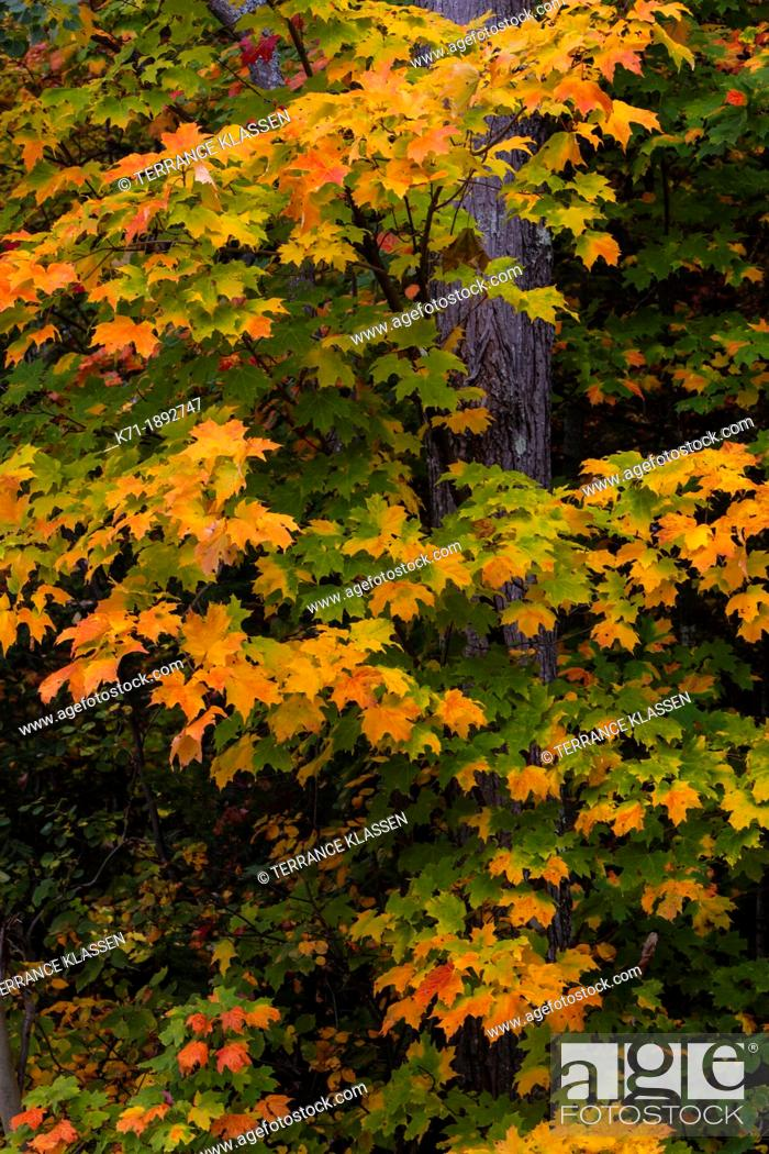 Imagen: Fall foliage color in the trees of the deciduous forests of the Upper Penninsula, Michigan, USA.