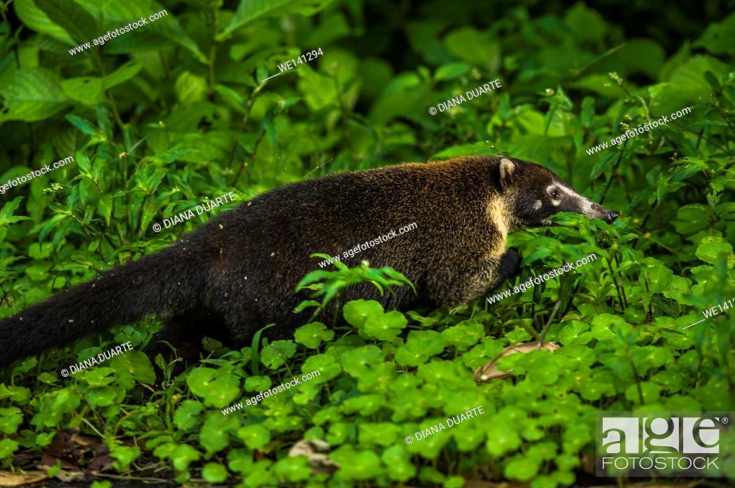 "Stock Photo: """"""""""White-nosed coati"""" (Nasua narica), Some of these animals walk on the toes of the front paws and soles of the back paws."