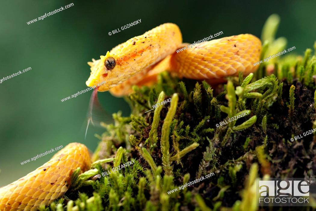 Imagen: Eyelash Viper (Bothriechis schlegelii) - Laguna del Lagarto Lodge, Boca Tapada, Costa Rica [Controlled Specimen].