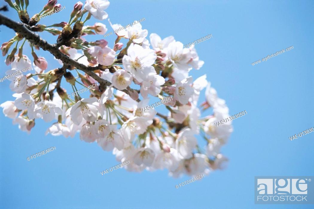 Stock Photo: Cherry Tree.