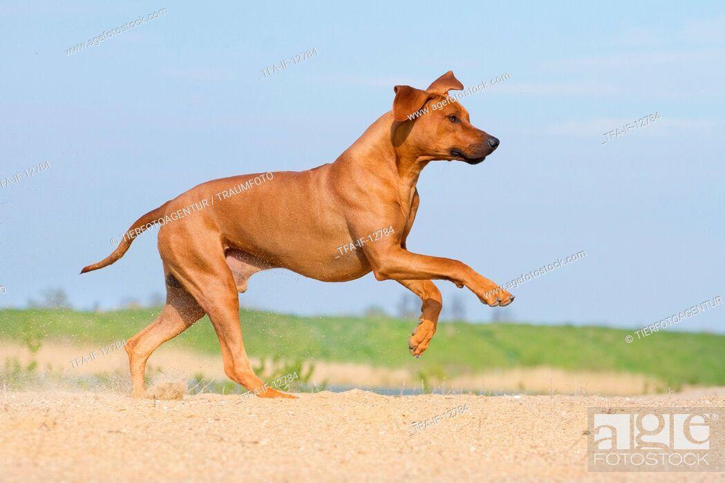 Stock Photo: running Rhodesian Ridgeback.